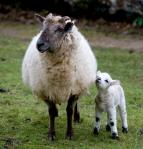 Joan's first lamb