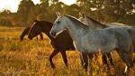 Lusitano Mares at Sunset, Japu Top