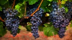 Keron_Psillas_Vineyard_50K0485-2_textured