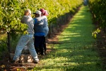 Keron_Psillas_Vineyard_Harvest_0909