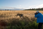 Don Arturo, destroying some wheat, on the prairie at Ebey's Landing