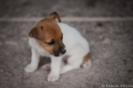 Jack Russell puppy, Salvaterra dos Magos