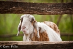 Goat, Middleton Place