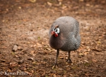 Guinea hen, Middleton Place