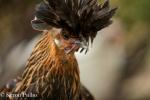 Chicken, MacCrae Farm