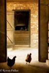 Chickens, Interior, Middleton Place