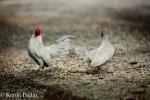 Chickens, MacCrae Farm,duo