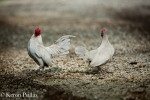 Chickens, MacCrae Farm, duo