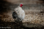 Small Gray Rooster, MacCrae Farm