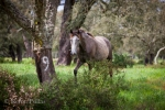Curious young Lusitano