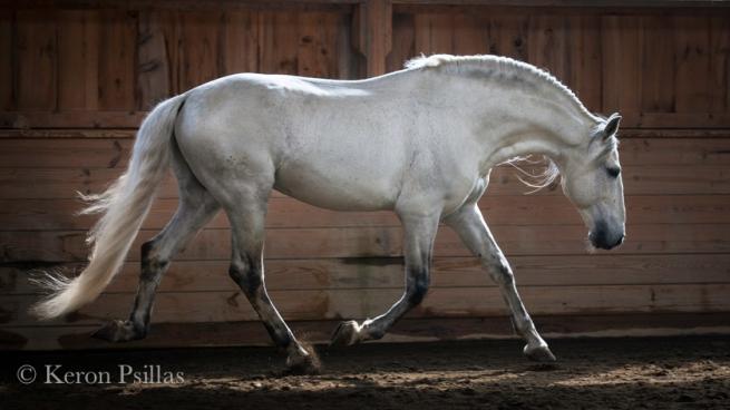 Suplicio da Raposa, Lusitano stallion