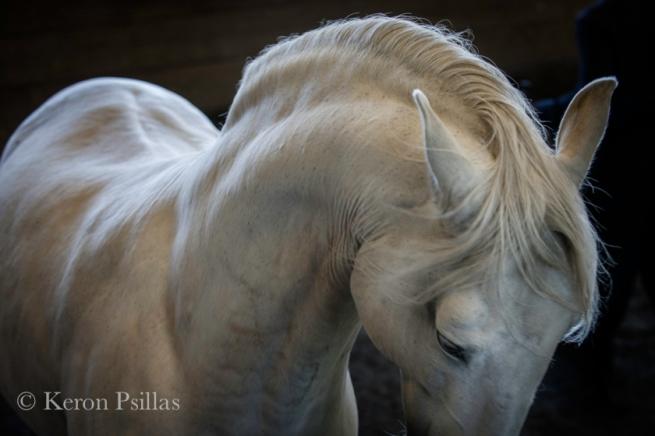 Larapio, Lusitano Stallion, available light