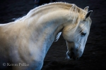 Larapio MAC, Lusitano stallion