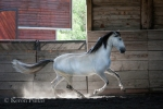 Ben Hur do Retiro, Lusitano stallion